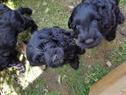 Hundezucht Portugiesischer Wasserhund